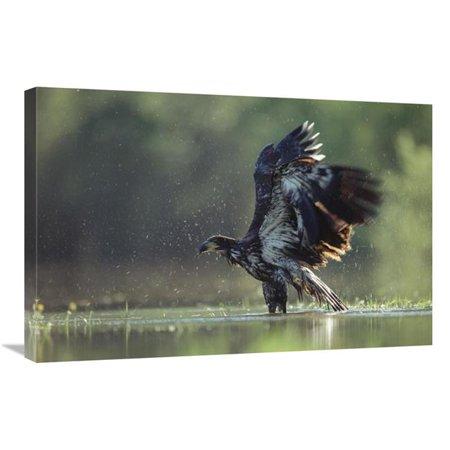 20 x 30 in. Bald Eagle Juvenile Bathing in A River, North America Art Print - Tim Fitzharris Juvenile American Bald Eagle