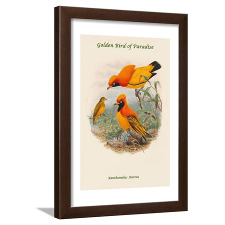 John Gould Bird (Xanthomelus Aureus - Golden Bird of Paradise Framed Print Wall Art By John Gould)