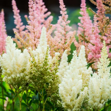 Astilbe showstar flower garden seed mix 100 seeds perennial astilbe showstar flower garden seed mix 100 seeds perennial flower gardening seed blend mightylinksfo