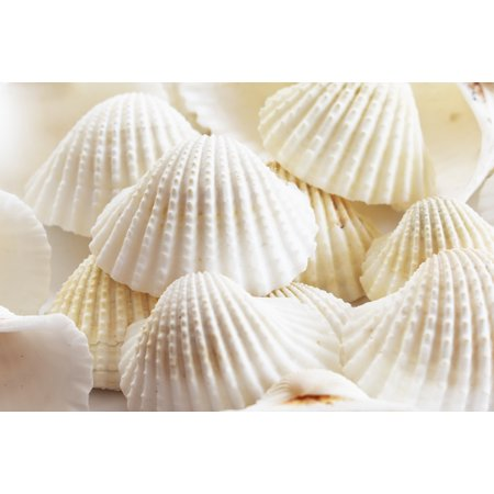 1 Lb (about 30) Large White Ark Shells Seashells (1 3/4