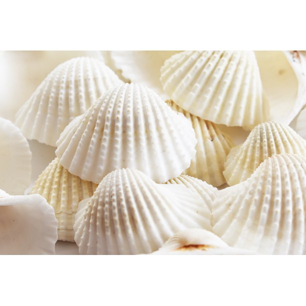 "1 Lb (about 30) Large White Ark Shells Seashells (1 3/4"" - 2 1/4"") Beach Wedding Hobby Arts & Crafts"