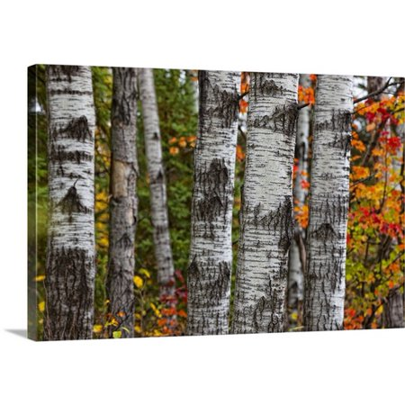 Great Big Canvas Robert Postma Premium Thick Wrap Canvas Entitled Aspen Trees Surrounded By Autumn Leaves In Algonquin Provincial Park