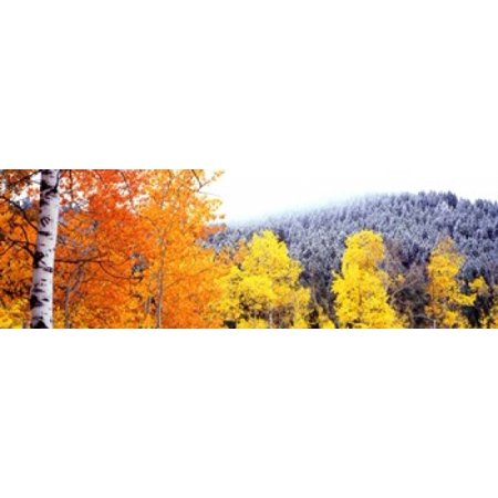 Aspen trees in a forest Blacktail Butte Grand Teton National Park Wyoming USA Poster Print by Panoramic Images (50 x 18)