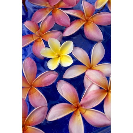 Studio Shot Of One Yellow And Mixed Color Plumeria Flowers Blue Background Stretched Canvas - Dana Edmunds  Design Pics (12 x - Plumeria Design