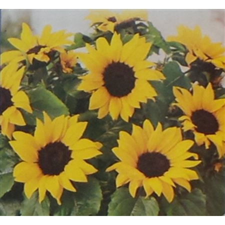 Sunflower Dwarf Sunspot Seed - 1 Packet (Best Time To Plant Sunflower Seeds)