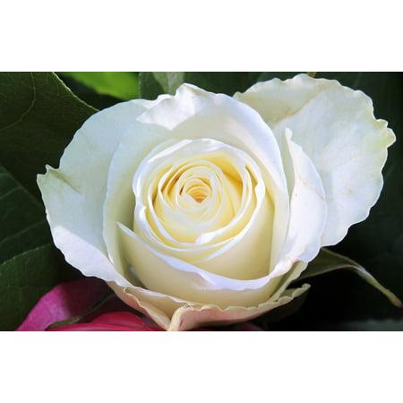 LAMINATED POSTER Flower Love White Rose Smell Bloom Blossom Poster Print 24 x 36