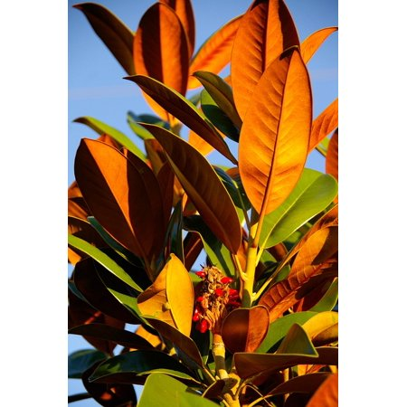 LAMINATED POSTER Russet Leaves Magnolia Tree Green Orange Poster Print 24 x 36