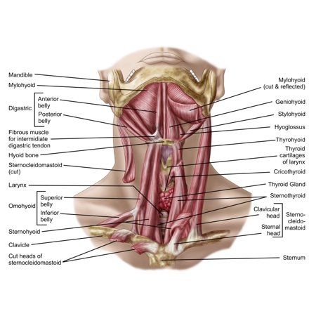 Anatomy Of Human Hyoid Bone And Muscles Anterior View Canvas Art