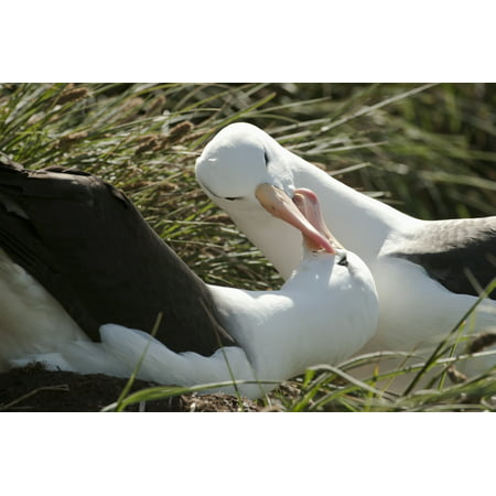 Black-browed Albatrosses (Thalassarche melanophrys) courting West Point Island Falkland Islands Canvas Art - Daisy Gilardini Design Pics (38 x 24)