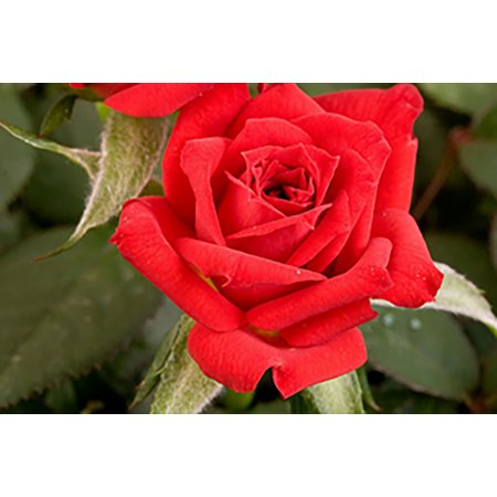Rosebush Plant (Parade Santa Miniature Rose Bush - Fragrant/Hardy - 4