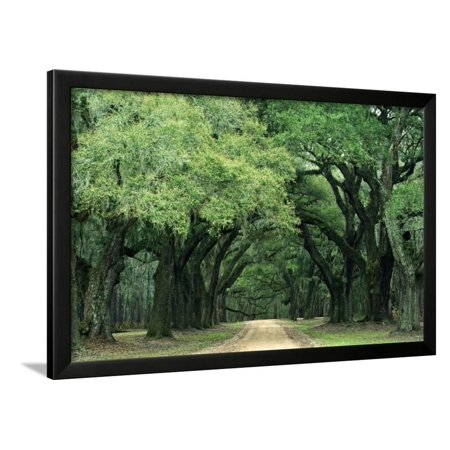 Charleston Gallery - Road Enclosed by Moss-Covered Trees, Charleston, South Carolina, USA Framed Print Wall Art By Jaynes Gallery