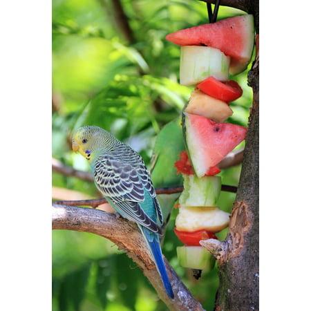 LAMINATED POSTER Eat Bird Animal Buffet Budgie Melon Food Poster Print 24 x (24 Bit Frame Buffer)