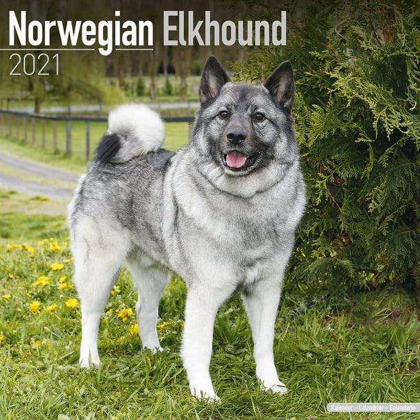 Norwegian Elkhound Calendar 2021   Norwegian Elkhound Dog Breed