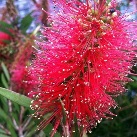 Red Cluster Bottlebrush, Flowering Evergreen Shrub - Flowering Plants Shrubs