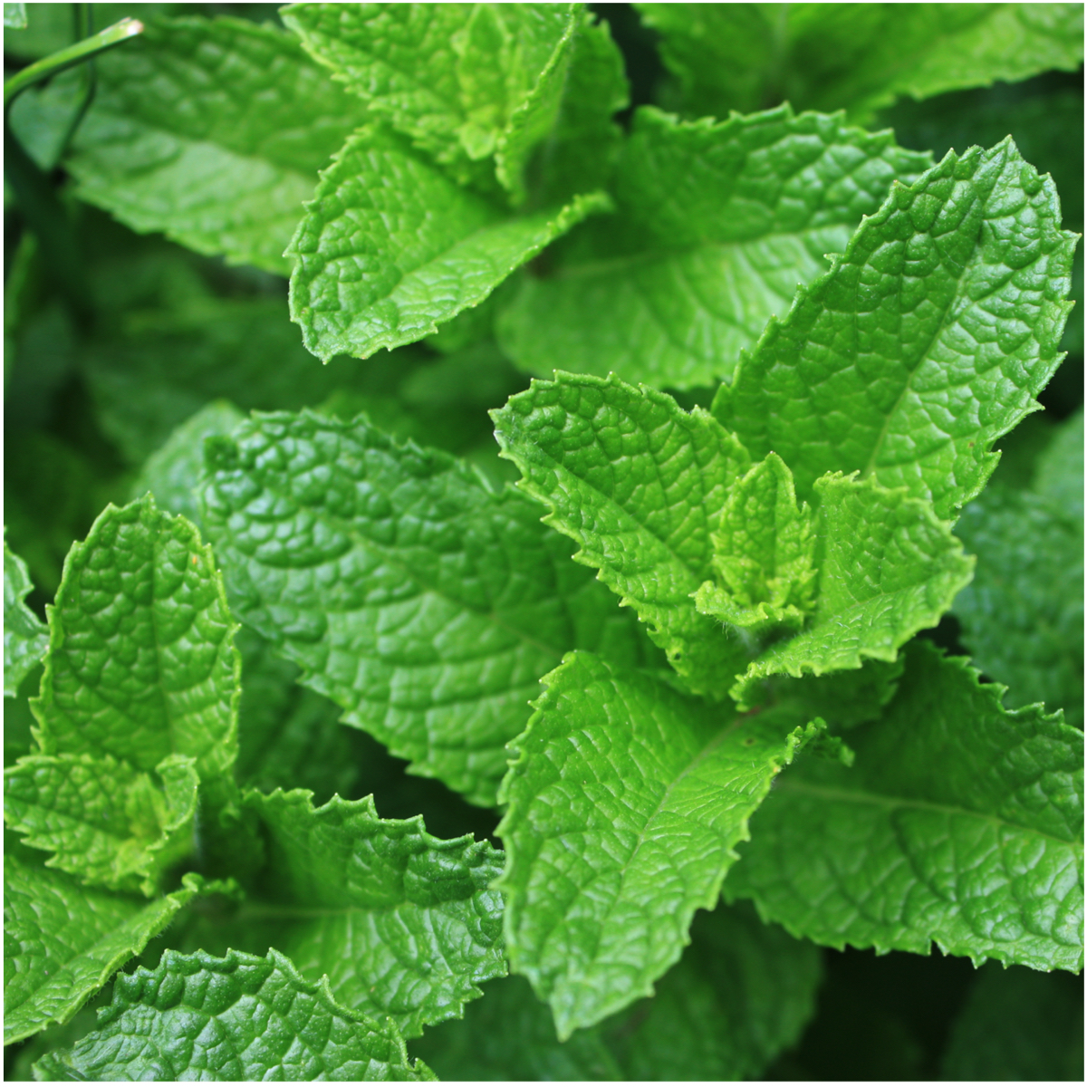 Bulk Packet of 10,000 Seeds, Spearmint Herb (Mentha spicata) Non-GMO Seeds By Seed Needs