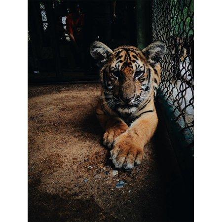 LAMINATED POSTER Zoo Wildlife Cage Wild Mammal Animal Cat Tiger Poster Print 24 x 36
