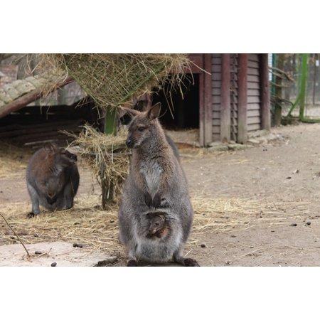 LAMINATED POSTER Animal Baby Group Purse Zoo Little Kangaroo Poster Print 24 x - Kangaroo Baby