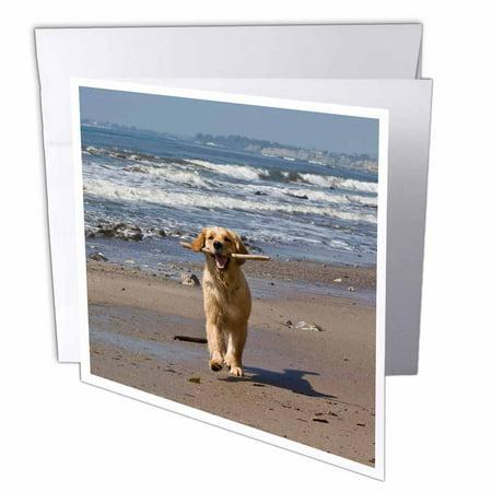 Golden Retriever Stationery - 3dRose A Golden Retriever dog, California - US05 ZMU0338 - Zandria Muench Beraldo, Greeting Cards, 6 x 6 inches, set of 12