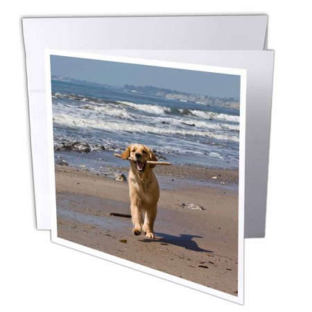3dRose A Golden Retriever dog, California - US05 ZMU0338 - Zandria Muench Beraldo, Greeting Cards, 6 x 6 inches, set of 12