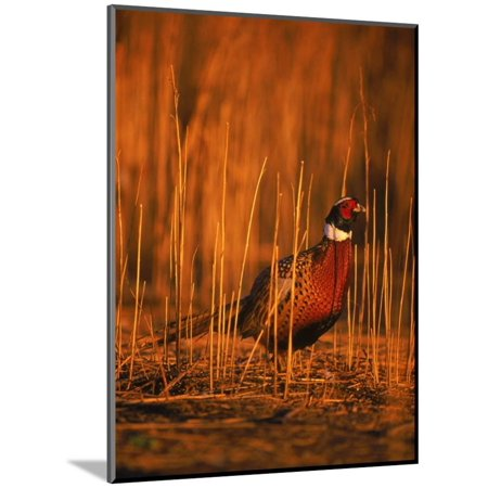 Ringneck Pheasant Wood Mounted Print Wall Art By D. Robert Franz