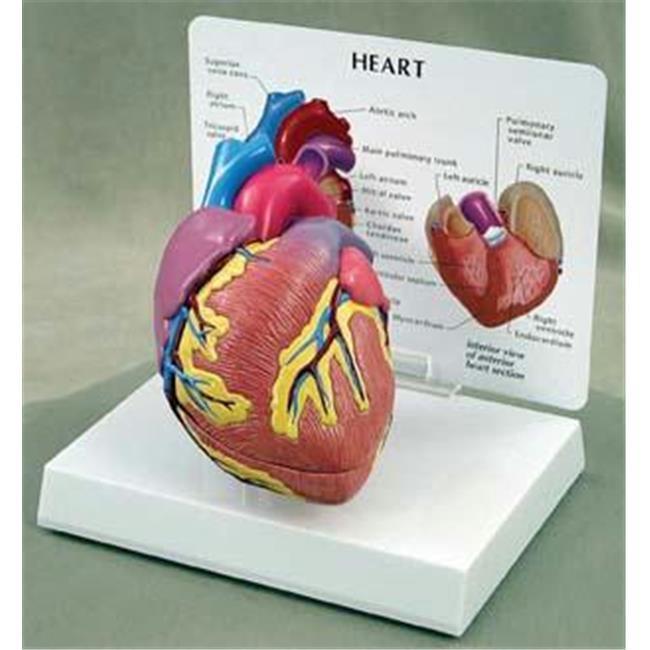 Olympia Sports 14022 Heart Model