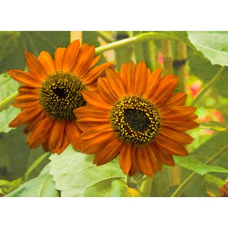 New Zeal & Sunflower, Fine Art Photograph By: George Johnson; One 24x18in Fine Art Paper Giclee Print