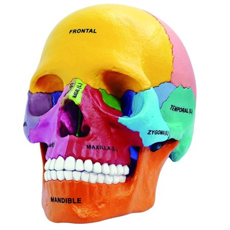 4D Master 4D Human Anatomy Didatic Exploded Skull Model Educational Novelty Puzzles