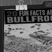 Fun Fact File: North American Animals: 20 Fun Facts about Bullfrogs (Hardcover)