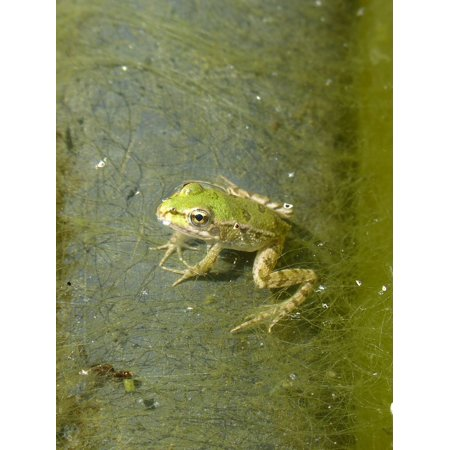 Framed Art For Your Wall Batrachian Small Algae Float Frog Raft Green Frog 10x13 Frame