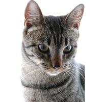 Laminated Poster Feline Kitten Pet Domestic Portrait Cat Animal Poster Print 11 x 17
