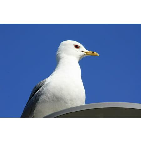 Laminated Poster Animal Sky Seabird Nature Gull Seagull Bird Poster Print 24 x 36