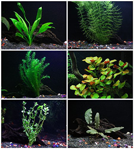25+ stems   6 species Live Aquarium Plants Package Anacharis, Amazon and more! by Aquarium Plants & Pets
