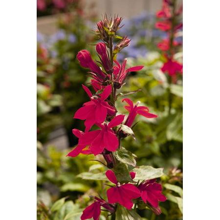 Fan Burgundy Cardinal Perennial Live Plant Lobelia Very Hardy