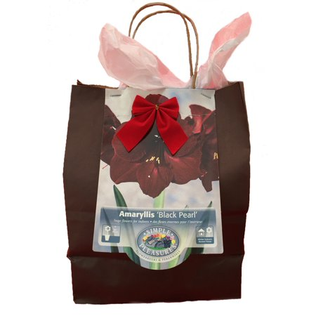 Black Pearl Giant Dutch Amaryllis Gift Bag -Large Bulb, Pot/Saucer, Potting Soil for $<!---->