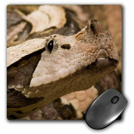 3dRose Gaboon Viper snake, Masai Mara, Kenya - US39 JMC0020 - Joe and Mary  Ann McDonald, Mouse Pad, 8 by 8 inches