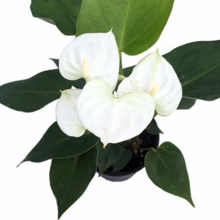 Baby White Anthurium Plant - Easy to Grow House Plant - 4