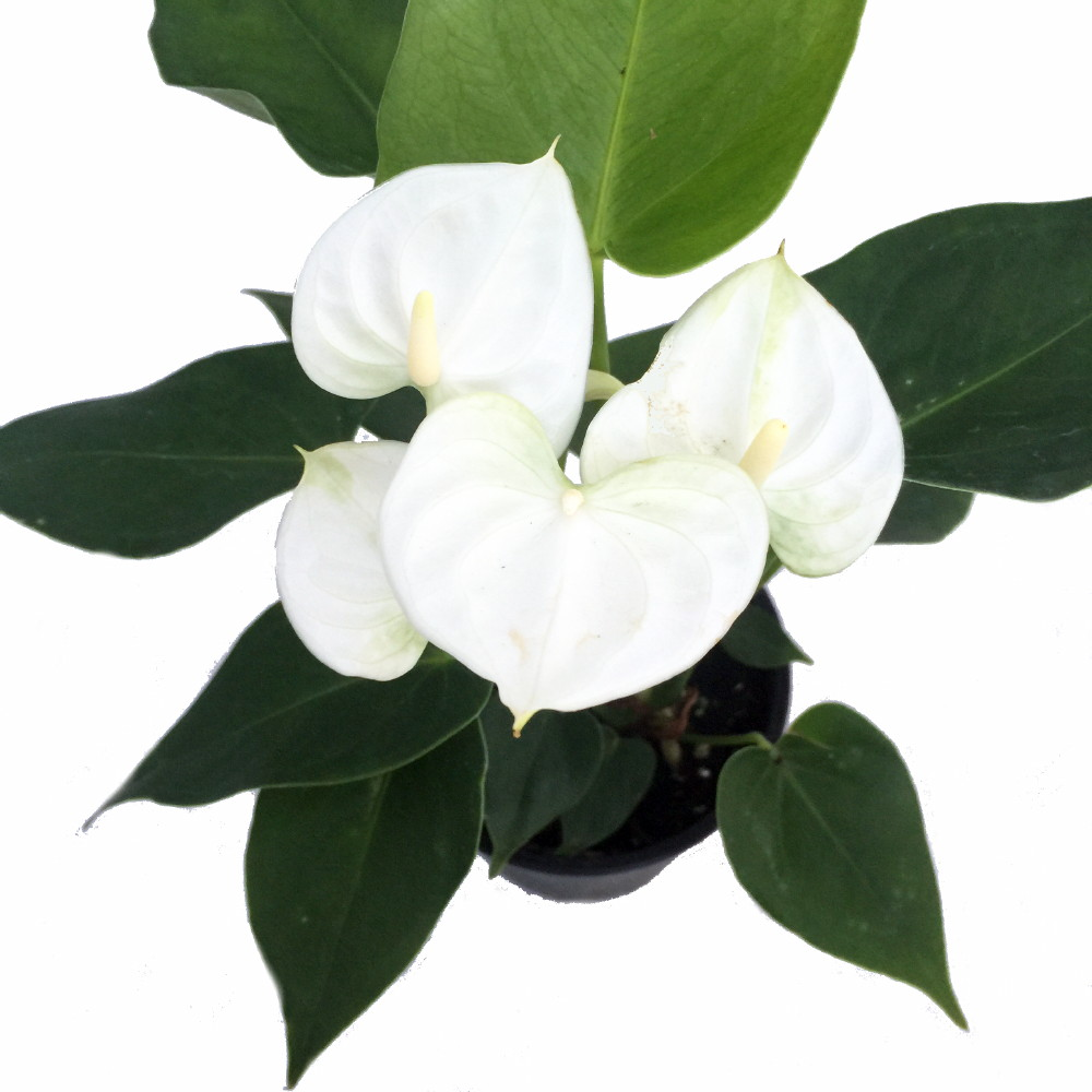 """Baby White Anthurium Plant - Easy to Grow House Plant - 4"""" Pot - Great Gift"""