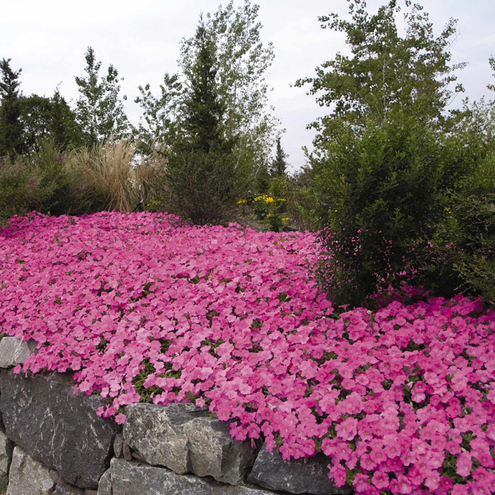 Petunia - Wave Series Flower Garden Seed - 100 Pelleted Seeds - Lavendar Blooms - Annual Flowers - Wave Petunia Seeds - Spreading Petunias