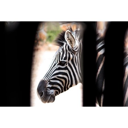 LAMINATED POSTER Animal Strips Zebra Nero White Black And White Poster Print 24 x - Black And White Strips