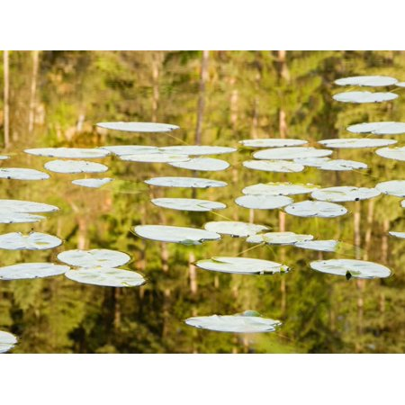 Lilly Pads Reflect in Lake in the Flathead National Forest, Montana, USA Print Wall Art By Chuck