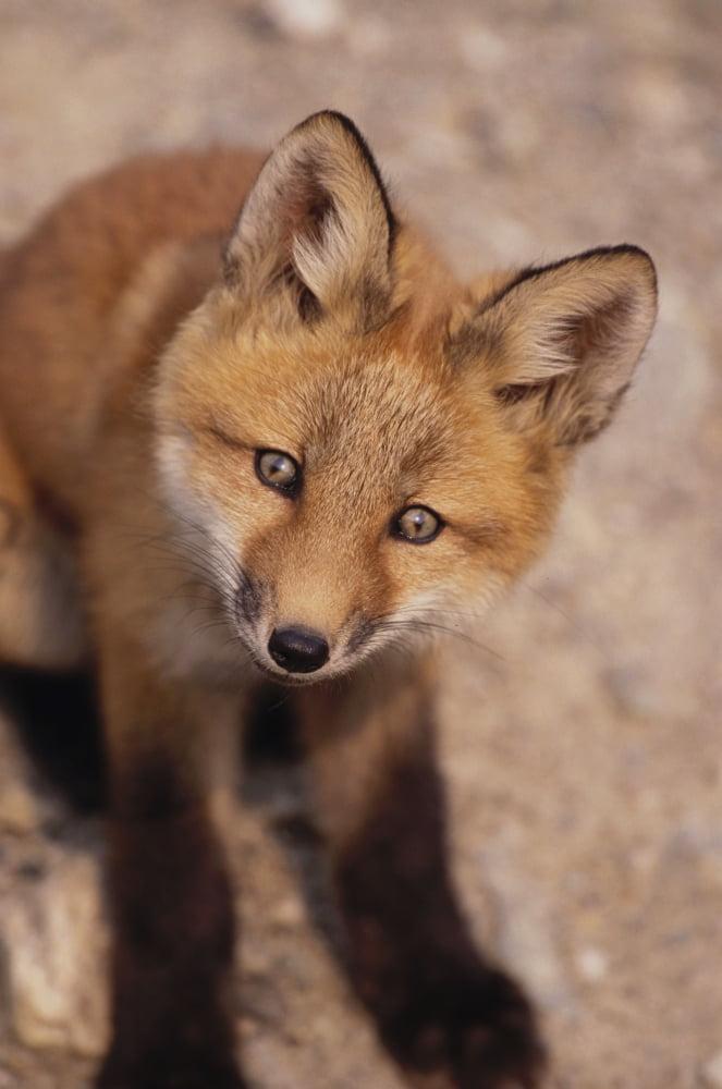 Portrait Of Red Fox Kit Near Den On Savage River Denali Np Canvas Art Harry