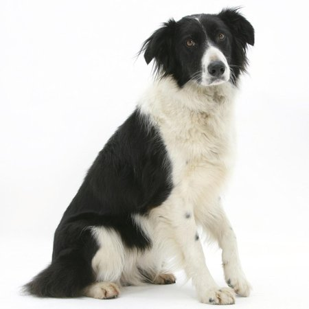 Black-And-White Border Collie, Phoebe, Raising Her Lame Paw Print Wall Art By Mark Taylor