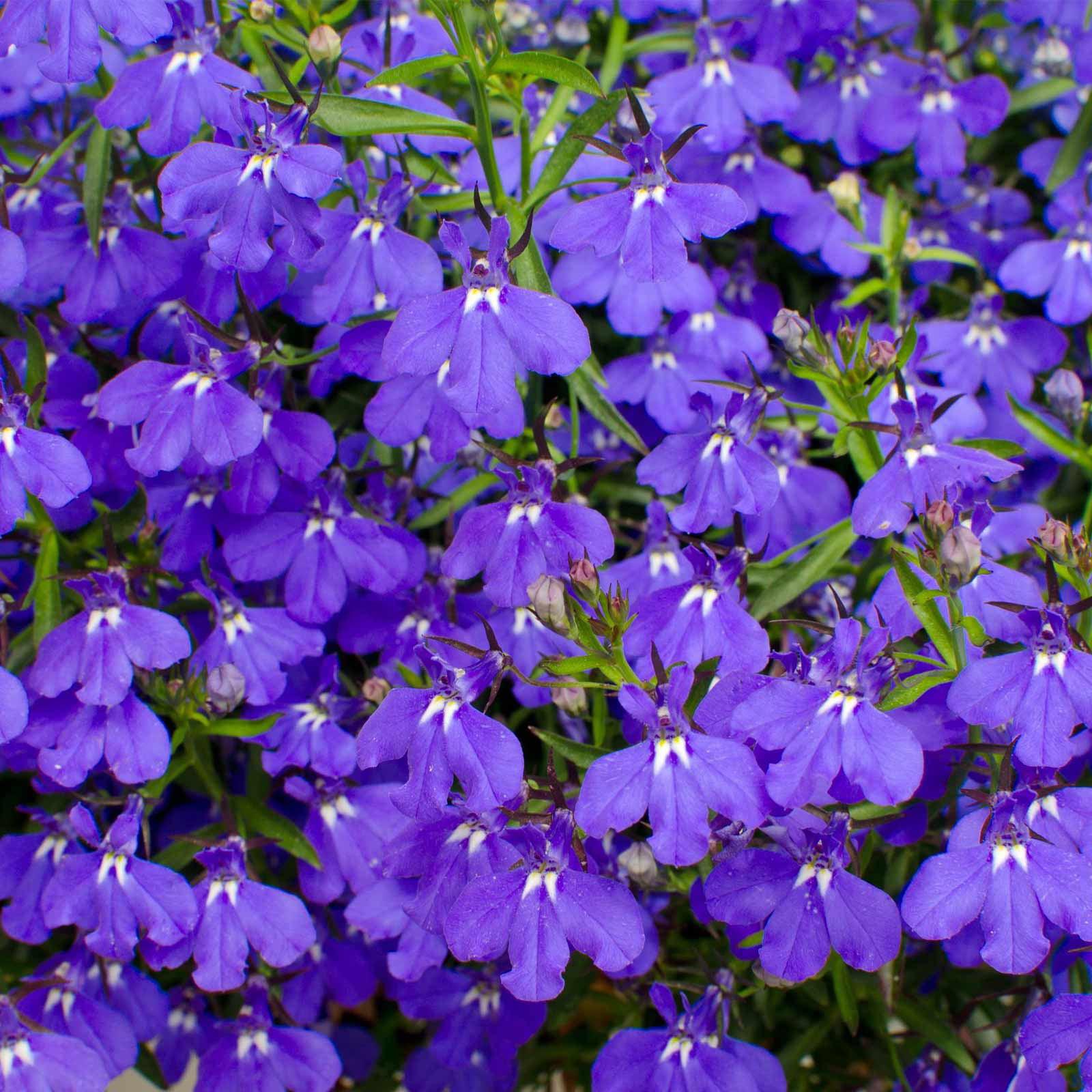 Lobelia Flower Garden Seeds Palace Series Royal Dark Blue 1000