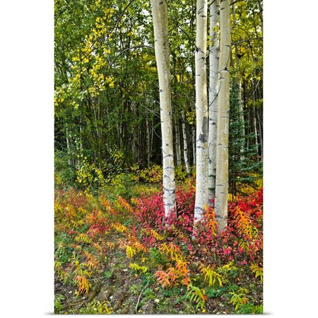 Great Big Canvas Poster Print Entitled Colorful View Of Aspen Tree Trunks And Fall Foliage  Kenai Peninsula In Southcentral