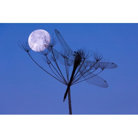 Dragonfly, Plant, Silhouette, Moon Print Wall Art By Herbert