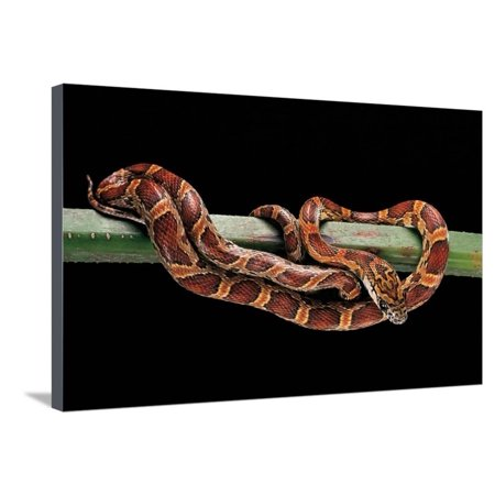 Elaphe Guttata Guttata (Corn Snake) Stretched Canvas Print Wall Art By Paul Starosta