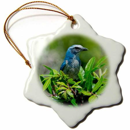 (3dRose USA, Florida, Cape Coral, Florida Scrub Jay framed by green bush - Snowflake Ornament, 3-inch)