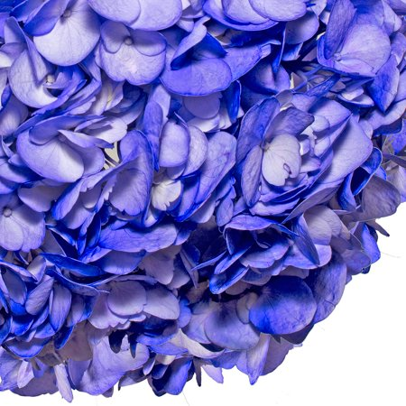 Fresh Cut Airbrushed Blue Berry Hydrangeas, Pack of 15 by InBloom Group