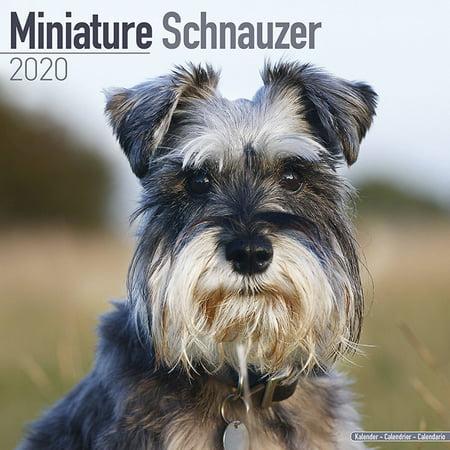 Miniature Schnauzer Calendar 2020 - Miniature Schnauzer Dog Breed Calendar - Miniature Schnauzers Premium Wall Calendar 2020