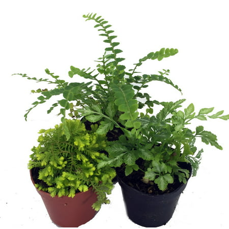 "Mini Ferns for Terrariums/Fairy Garden - 3 Different Plants-2"" Pots"